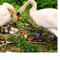 Dedicated Swans, Cranes for sale