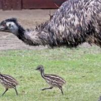 3x Emu Broeipare