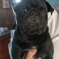 Beautyful Black male pug for sale