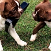 Red Boston terrier pups Born,26-Jul-16  (10 weeks old)