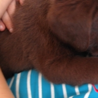 Chocolate Brown Labrador Puppies