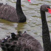 WANTED: 2 X Black Swans * Breeding Pair * Cape Town Area * Will Collect *
