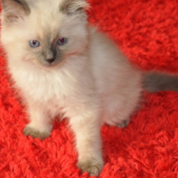 Full Pedigree Ragdoll Kittens