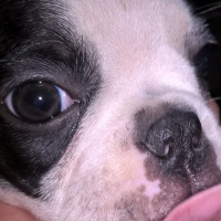 8 Weeks Old Boston Terrier Puppies For Sale