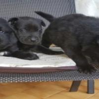 Golden Retriever cross Labrador pups