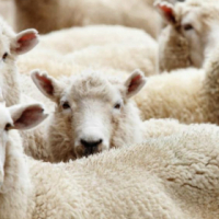 Quality, well raised Eid sheep available