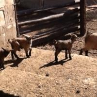 camaroon dwarf goats