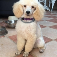 Bearlemo Miniature French Poodle