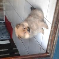 toy pom Pomeranian male