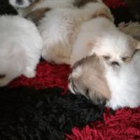 Pekingese pups for sale