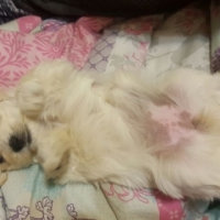 Maltese Poodle Pups for sale