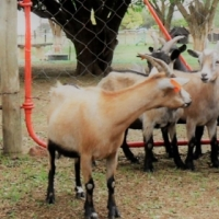 Adult Cameroon Goat Ewes