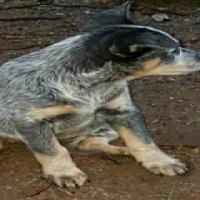 Australian Cattle Dogs for sale