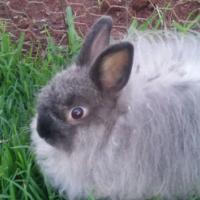 Jersey Wooly Bunnies (Dwarf Angora Rabbits)