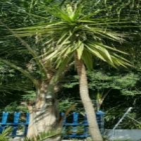Yucca Plant in 110L Drum