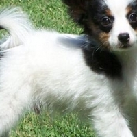 8 weeks old Papillon Puppies for sale