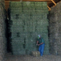 lucerne feed A grade standard for R50/bale AVAILABLE NOW
