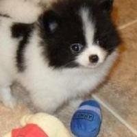 Top Quality Black And White Rare Mini Pomeranian Puppy!