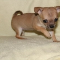 teacup chihuahua puppies for sale.