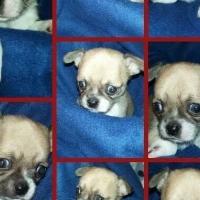 Beautiful small breed Chihuahuas