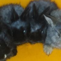 Dwarf Angora Jersey Wooly baby rabbits