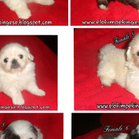 Miniature pekingese pups for sale