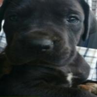 Registered Blue & Black Great Dane Pups