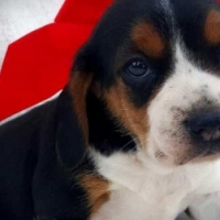 Xmas Gift Smart And Intelligent Beagle Puppy Seeking A Home