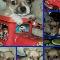 Gorgeous Small Chihuahua