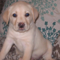 Purebred / Pedigree / Registered Labrador Retriever Puppies for sale
