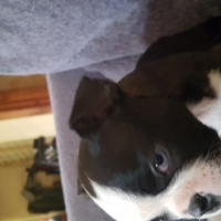 Pure bred Boston terrier babies