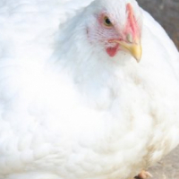 White and Brown Broilers with also Free Range for sale