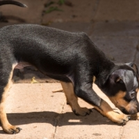 Miniature Pincher Puppies for Sale