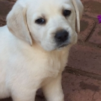 White Labrador Puppies for sale (pedigree, beautiful, fat and playful)