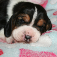 We have stuuning Basset Hound pups available