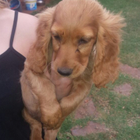 Spoodle puppies for sale