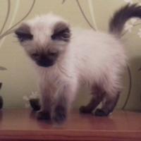 Beautiful Pedigree Ragdoll Kittens