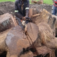 Knowle Tree services- tree felling &Stumps  uprooting