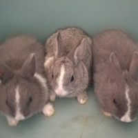 Netherland Dwarfbunnies for sale