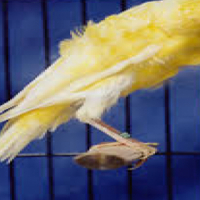 Canaries Dutch Frill's for sale 3xmales left