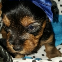Registered Teacup and Pocket size Yorkshire Terriers
