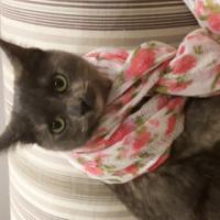 MISSING CAT: Grey tortoiseshell - Kempton Park