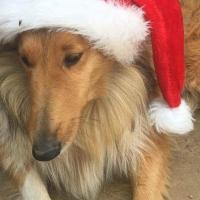 Lassie collie (rough) puppies