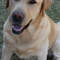 Missing Labrador Male