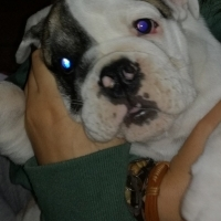 English Bulldog Male Puppy (9-10 weeks)