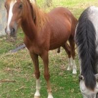 Welsh pony cross