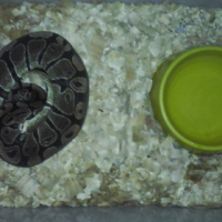 BallPython Female