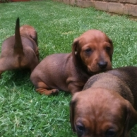 Miniature Dachunds for sale