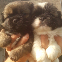 Piganese yorkshire cross puppies