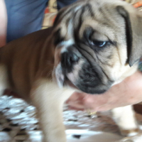 Beautiful Tawn colour Bulldog male pup for sale